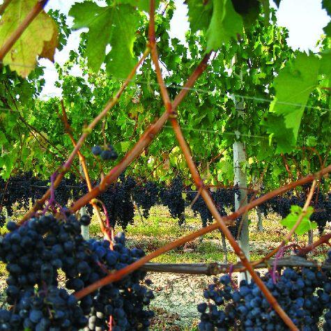 На холмах долины Ланге произрастают известные сорта винограда - dolcetto,  nebbiolo и barbera